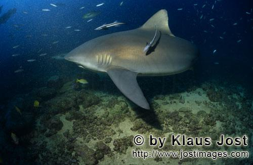 Bull Shark/Carcharhinus leucas        Bull shark patrols on the reef        Together with the Tiger