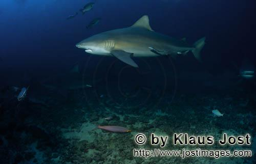 Bull Shark/Carcharhinus leucas        Large bull shark on the reef        Together with the Tiger Sh