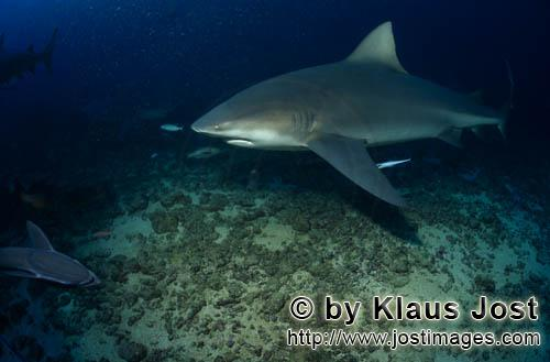 Bull Shark/Carcharhinus leucas        Bull shark just above the reef bottom        Together with the