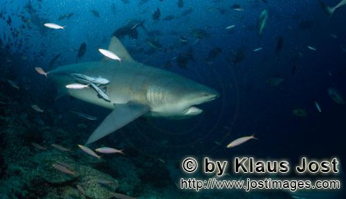 Bull Shark/Carcharhinus leucas        Bull shark has slightly opened his mouth        Together with