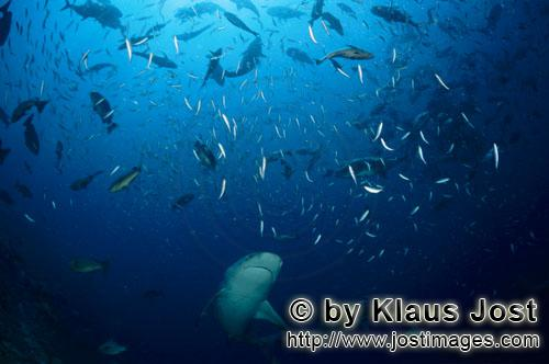 Bull Shark/Carcharhinus leucas        Bull shark swims in a fish concentration        Together with