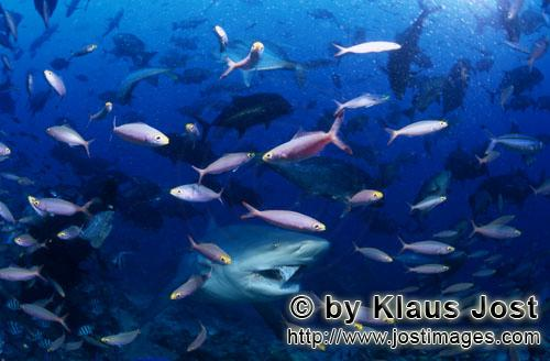 Bull Shark/Carcharhinus leucas        Bull shark and colorful coral fishes         Together with the