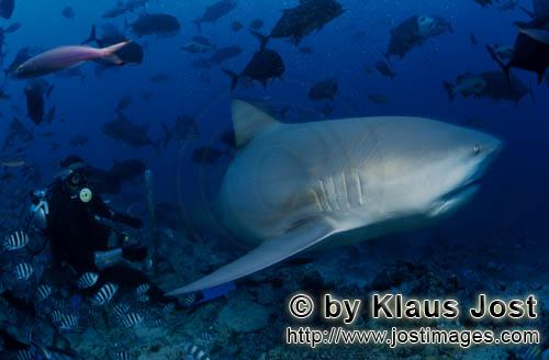 Bull Shark/Carcharhinus leucas        Divers is watching bull shark        Together with the Tiger S