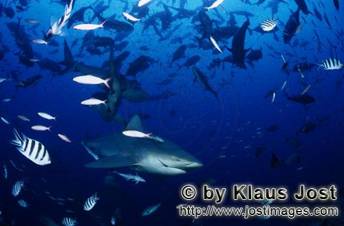 Bull Shark/Carcharhinus leucas        Bull sharks and coral fishe        Together with the Tiger Sha