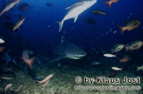 Bull Shark/Carcharhinus leucas        Bull shark comes from deep water        Together with the Tige