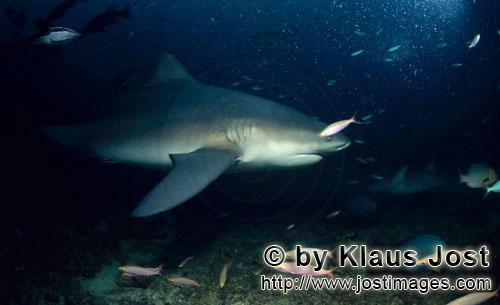 Bull Shark/Carcharhinus leucas        Patrolling bull shark on reef        Together with the Tiger S