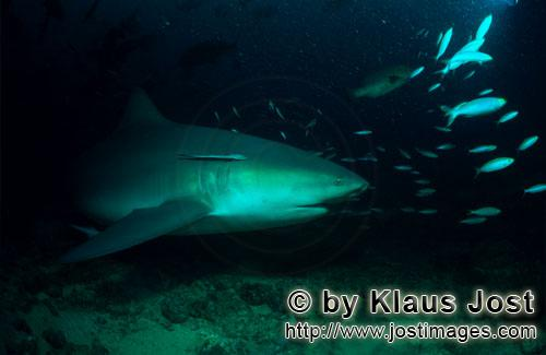 Bull Shark/Carcharhinus leucas        Bull shark swims along the reef        Together with the Tiger