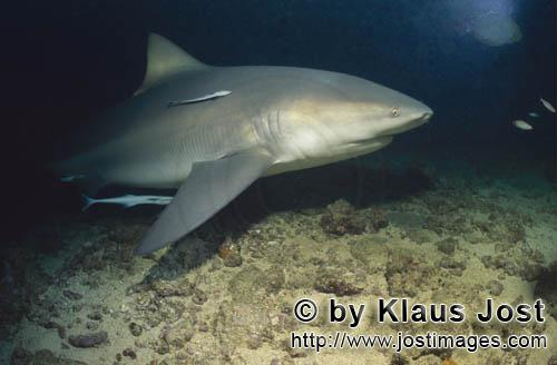 Bullenhai/Bull Shark/Carcharhinus leucas        Bull shark with Remoras        Together with the Tig