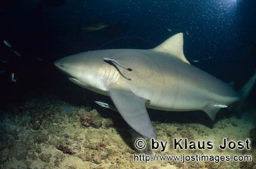 Bull Shark/Carcharhinus leucas        Bull shark with Remoras        Together with the Tiger Shark a
