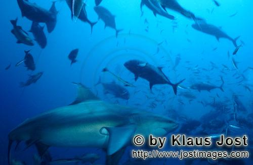 Bullenhai/Bull Shark/Carcharhinus leucas        Imposing bull shark on the reef        Together with