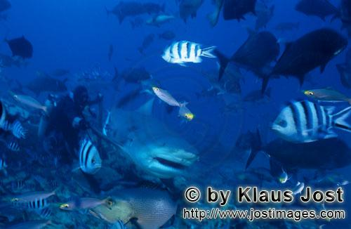 Bull Shark/Carcharhinus leucas        Bull Shark next to the diver        Together with the Tiger Sh