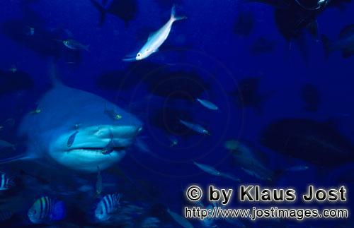 Bull Shark/Carcharhinus leucas        Bull shark with numerous fishes        Together with the Tiger