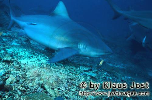 Bull Shark/Carcharhinus leucas        Bull shark visited the reef        Together with the Tiger Sha
