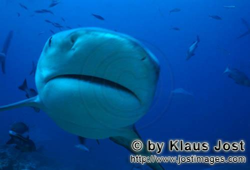 Bull Shark/Carcharhinus leucas        Bull Shark picture close up        Together with the Tiger Sha