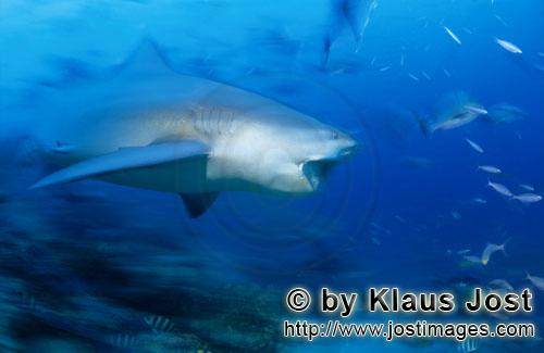 Bull Shark/Carcharhinus leucas        Bull Shark has opened its mouth        Together with the Tiger