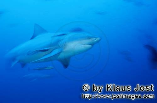 Bull Shark/Carcharhinus leucas        Bull shark in blue water        Together with the Tiger Shark