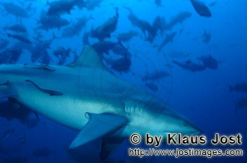 Bull Shark/Carcharhinus leucas        Large bull shark on the way to the reef        Together with t