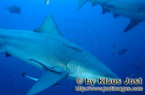Bull Shark/Carcharhinus leucas        Bull shark glides through the blue water        Together with