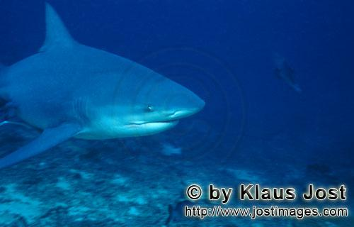 Bull Shark/Carcharhinus leucas        Bull Shark portrait        Together with the Tiger Shark and t