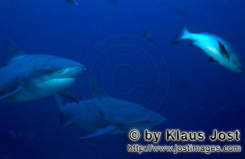 Bull Shark/Carcharhinus leucas        Two Bull Sharks and a Red reef snapper        Together with th