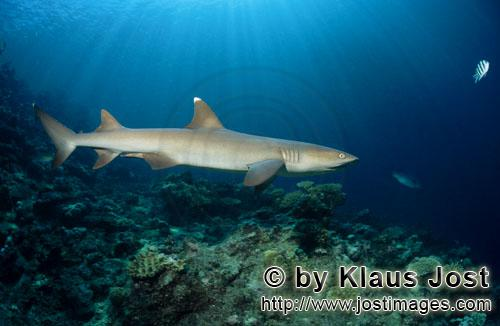 Whitetip reef shark/Triaenodon obesus        Whitetip reef shark swimming over reef         The w