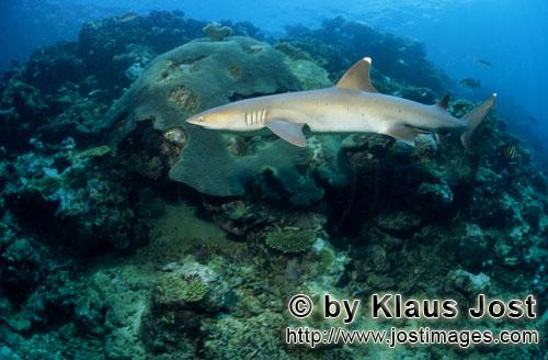 Weissspitzen-Riffhai/Whitetip reef shark/Triaenodon obesus        Whitetip reef shark in the coral r