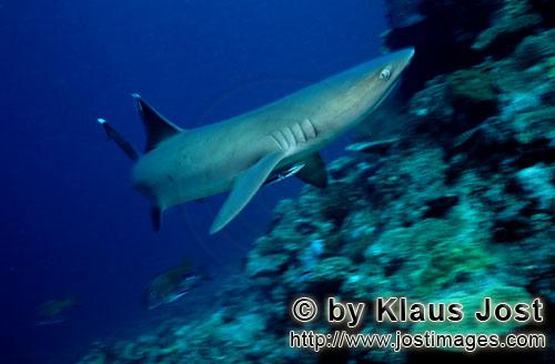Weissspitzen-Riffhai/Whitetip reef shark/Triaenodon obesus        Whitetip reef shark        The