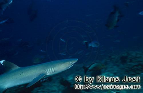 Weissspitzen-Riffhai/Whitetip reef shark/Triaenodon obesus        Whitetip reef shark swimming over