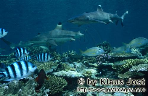 Weissspitzen-Riffhai/Whitetip reef shark/Triaenodon obesus        Whitetip reef shark and blacktip