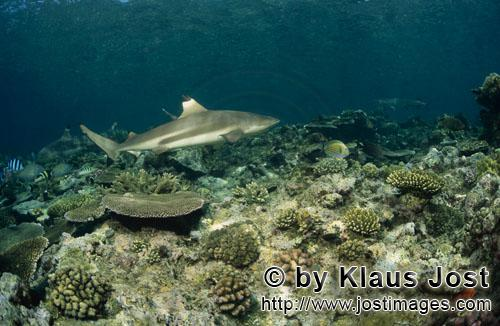 Schwarzspitzen-Riffhai/Blacktip reef shark/Carcharhinus melanopterus        Blacktip reef shark on t