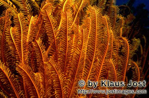Federstern/feather star/Comanthina sp.        Feather star (Comanthina sp.)