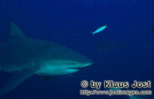 Bull Shark/Carcharhinus leucas        Bull Shark in the blue waters of the South Sea        Together