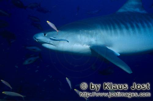 Tigerhai/Tiger shark/Galeocerdo cuvier        Tiger shark         The Tiger Shark belongs to