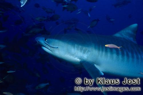 Tigerhai/Tiger shark/Galeocerdo cuvier        Tiger shark - Tiger shark photos        The Tiger S