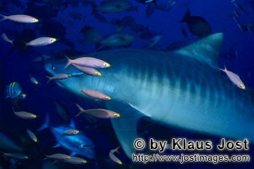 Tigerhai/Tiger shark/Galeocerdo cuvier        Tiger shark        The Tiger Shark belongs to t