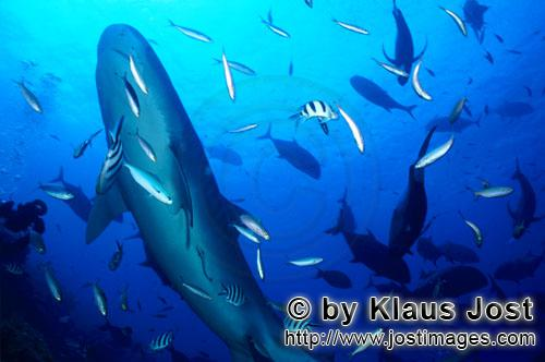 """Tigerhai/Tiger shark/Galeocerdo cuvier        Tiger shark         On our boat there is a """"sports f"""