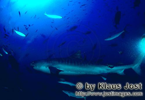 Tigerhai/Tiger shark/Galeocerdo cuvier        Tiger shark - Tiger shark pictures         The Tige