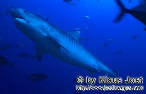 Tigerhai/Tiger shark/Galeocerdo cuvier        Tiger shark -picture         The Tiger Shark be