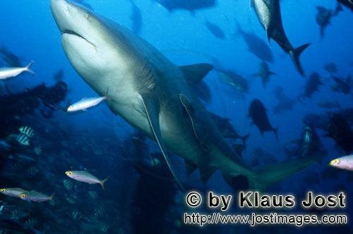 Bull Shark/Carcharhinus leucas        Bull shark swims up         Together with the Tiger Shark and