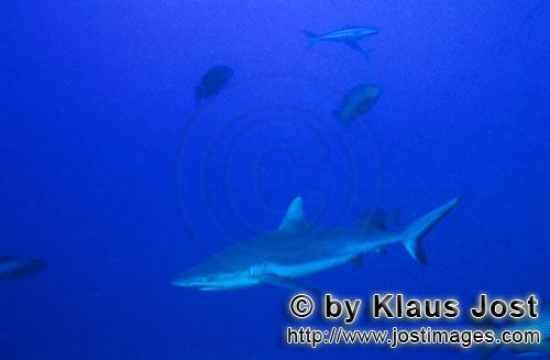 Grauer Riffhai/Gray reef shark/Carcharhinus amblyrhynchosGray reef shark (Carcharhinus amblyrhynchos)The grey reef shark (Carcharhinus amblyrhynchos) is one of the most common reef sharks in the Indo-Pacific. It is found as far east as Easter Island and as far west as South Africa. This species is most often seen in shallow water near the drop-offs of coral reefs. The grey reef shark has a broad, round snout and large eyes. This species can be distinguished from similar species by the plain or white-tipped first dorsal fin, the dark tips on the other fins, the broad black rear margin on the tail fin. Most individuals are less than 1.9 m (6.2 ft) long. Grey reef sharks are fast-swimming, agile predators that feed primarily on fishes and cephalopods.