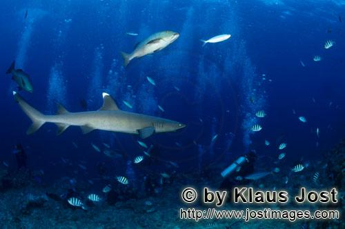 Weissspitzen-Riffhai/Whitetip reef shark/Triaenodon obesus        Whitetip reef shark observed the d