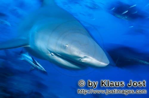 Bull Shark/Carcharhinus leucas        Bull shark close up        Together with the Tiger Shark and t