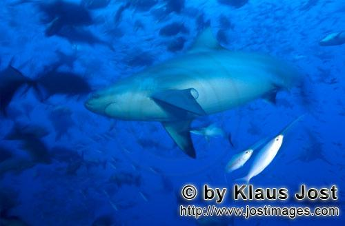Bull Shark/Carcharhinus leucas        Bull shark in a fish concentration        Together with the Ti
