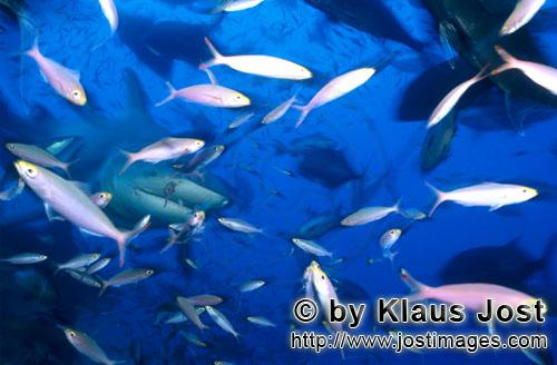 Bull Shark/Carcharhinus leucas        Bull shark in the middle of a fish collection        Together