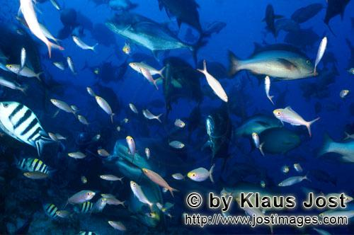 Bull Shark/Carcharhinus leucas                Together with the Tiger Shark and the White Shark, the