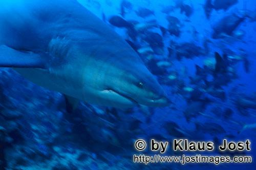 Bull Shark/Carcharhinus leucas        Bull shark portrait from the side        Together with the Tig