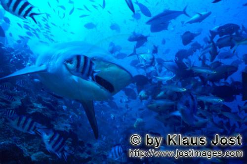 Bull Shark/Carcharhinus leucas        Bull with a slightly open mouth        Together with the Tiger