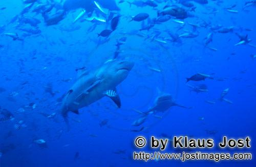 Bull Shark/Carcharhinus leucas        Bull shark in fish concentration        Together with the Tige