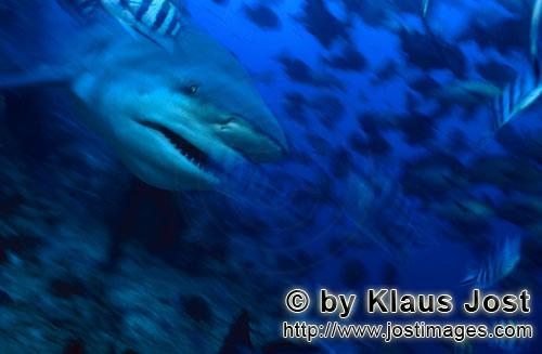 Bull Shark/Carcharhinus leucas        Character head Bull Shark        Together with the Tiger Shark