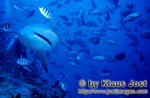 Bull Shark/Carcharhinus leucas        Bull shark approaches frontal        Together with the Tiger S